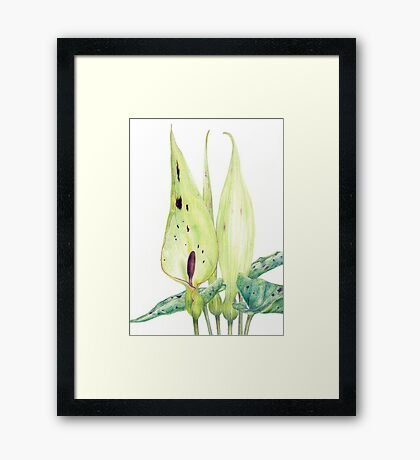 Arum maculatum (Lords and Ladies) Framed Print