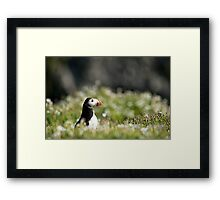 Puffin in Sea Campion Framed Print