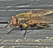 Close-up of a fly in HDR by pixelnest