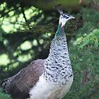 Peahen by Moonlake