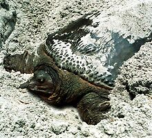 Nesting Softshell Turtle #1. by chris kusik