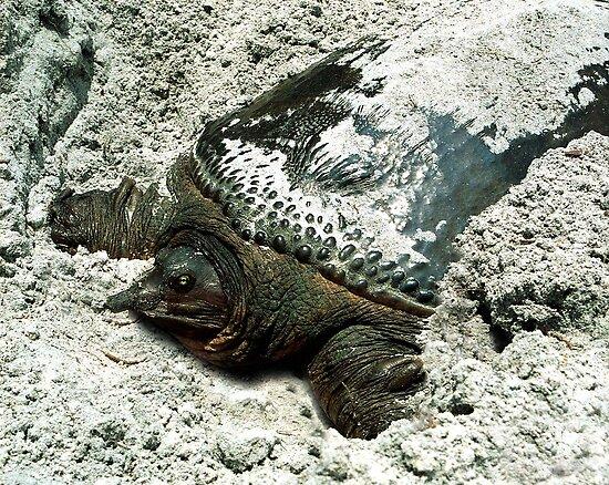 Nesting Softshell Turtle #1. by chris kusik
