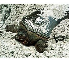 Nesting Softshell Turtle #1. Photographic Print
