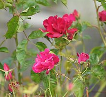 Red Roses in Crown Hill by Loisb