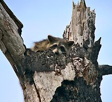 Raccoon Portrait. Lake Marion Creek W.M.A. by chris kusik