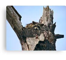 Raccoon Portrait. Lake Marion Creek W.M.A. Canvas Print