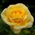 Single Rose by dgscotland