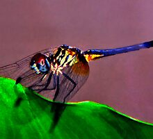 Blue Dasher Portrait #1.  by chris kusik