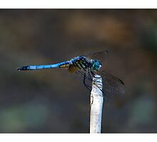 Blue Dasher Portrait #2. Photographic Print