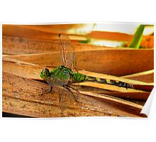 Great Pondhawk. Poster