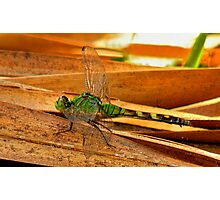 Great Pondhawk. Photographic Print