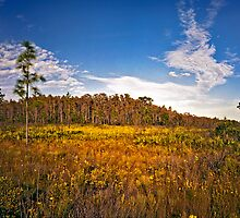 Cypress Dome & Black-Eyed Susans. Three Lakes W.M.A. by chris kusik