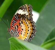 Red Lacewing by Ron Russell
