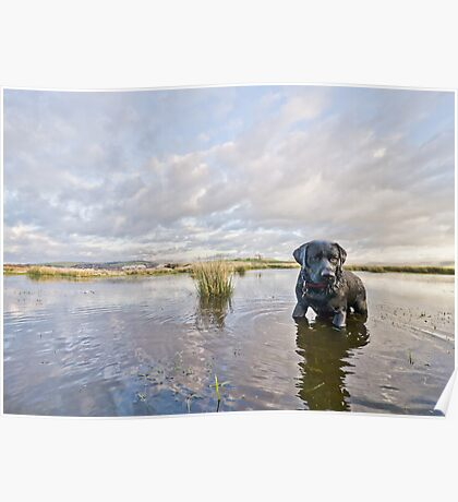 Black labrador, dramatic sky, reflections in water Poster