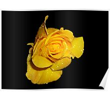 Beautiful Yellow Rose with Dew Drops Poster