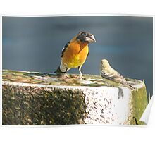 Black Headed Grosbeak & Lesser Goldfinch Bird Poster