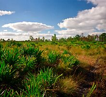 Palmetto Scrub. Triple N Ranch W.M.A. by chris kusik