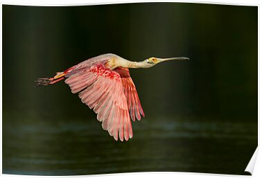 Roseate Spoonbill  by Daniel  Parent
