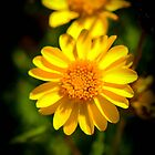 Yellow Flower Black Background by msqrd2