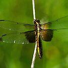 Dragonfly by cherylc1