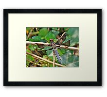 Common Whitetail Dragonfly - Plathemis lydia - Male Framed Print