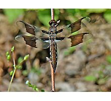 Common Whitetail Dragonfly - Plathemis lydia - Female Photographic Print