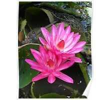 Pink Waterlillies Poster