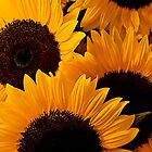 Sunflowers II - - Cards, iPhone & iPad Cases by Maria A. Barnowl