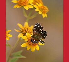 butterfly on marigold by ezdrifter