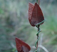 Twisting creeper climbs red vine by Simon and Rose Clark