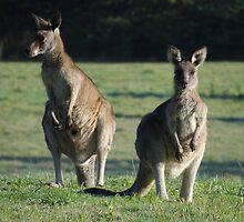 Wild young Kangaroos in the morning sun. by Simon and Rose Clark