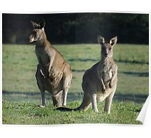 Wild young Kangaroos in the morning sun. Poster