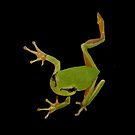 European Green Tree Frog Isolated by taiche