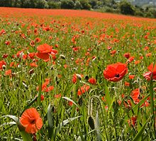 Poppies Chiltern Hills by Jim Hellier