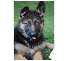 12 week old German Shepherd  Poster