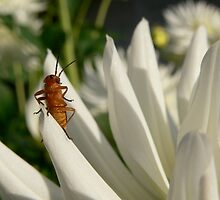 Soldier beetle by Shannon  Torrey