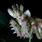 Flower Praying Mantis by Kenji Ashman