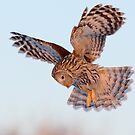 Ural Owl in flight by Remo Savisaar