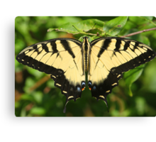 A tiger swallowtail butterfly Canvas Print