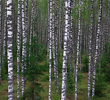 Birch Grove by Martins Blumbergs
