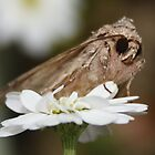 Moth - Possibly Cabbage Moth UK (View Large please) by AnnDixon