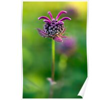 Bee balm having a good hair day Poster