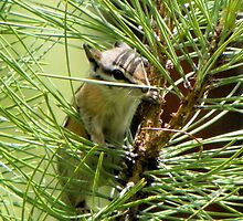 Chipmunk in the Pines by BettyEDuncan