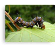 The Hungry Little Caterpillar  Canvas Print