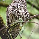 Owl on a Redwood branch by gerardofm4