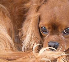 A Special Friend~ Cavalier King Charles Spaniel  by daphsam