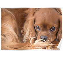A Special Friend~ Cavalier King Charles Spaniel  Poster