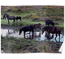 Dartmoor Pony Herd At Watering Hole Near Haytor Late August 2011 Poster