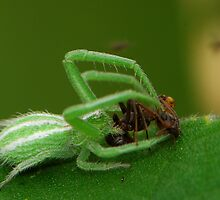 white stripped crab spider by davvi