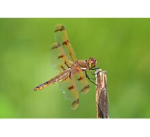 Painted Skimmer Photographic Print